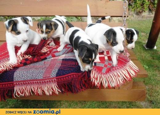 Sprzedam urocze szczenięta rasy Jack Russell Terrier,  lubelskie Świdnik