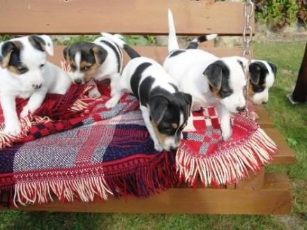 Sprzedam urocze szczenięta rasy Jack Russell Terrier   lubelskie Świdnik