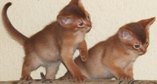 Kocięta Koty Abisyńskie Rodowodowe - GDYNIA   pomorskie Gdynia