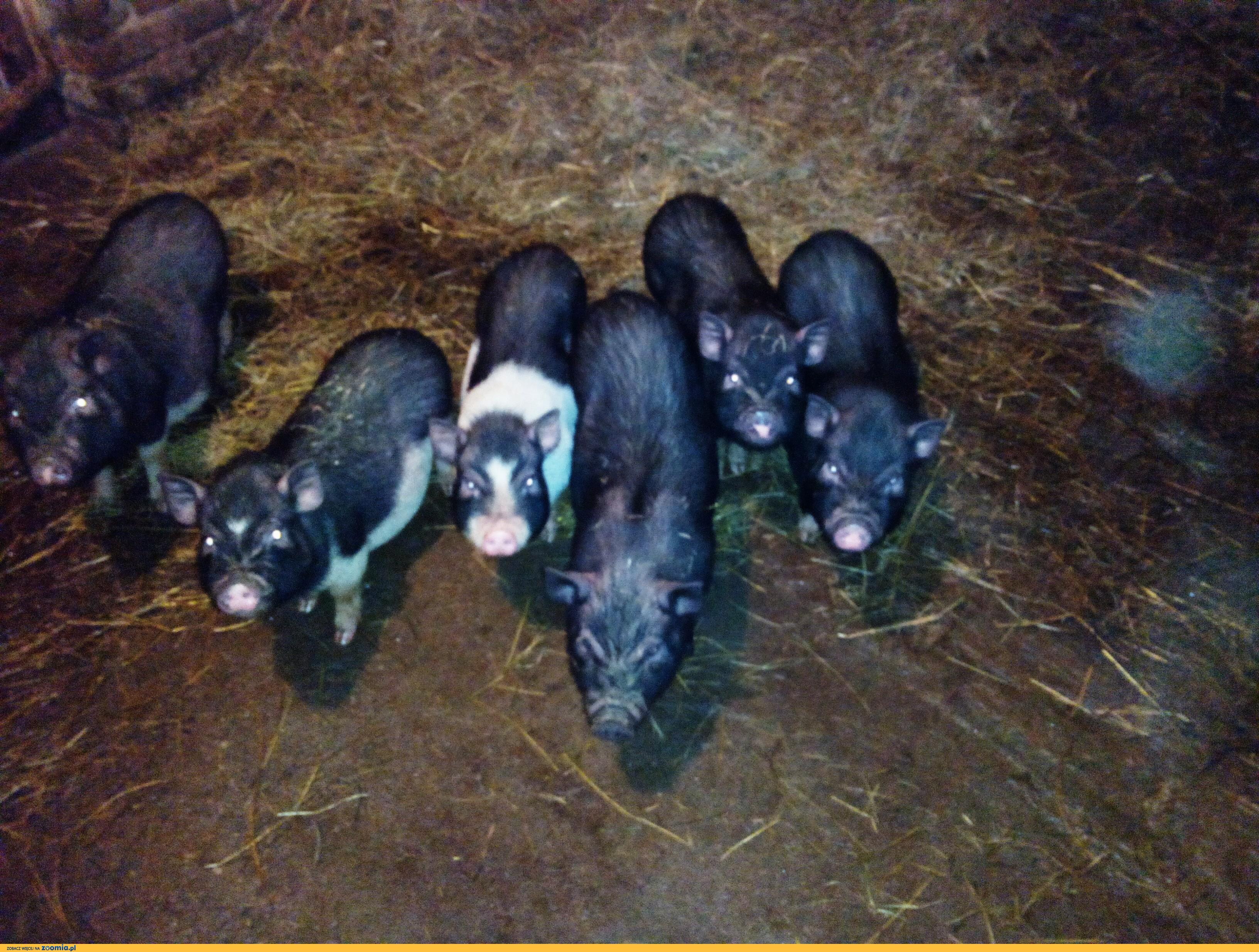 Sprzedam świnki i wieprzki wietnamskie