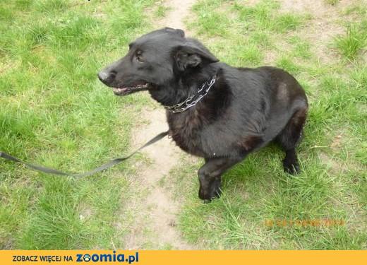 Oddam psa w typie owczarka niemieckiego,  kujawsko-pomorskie Żnin