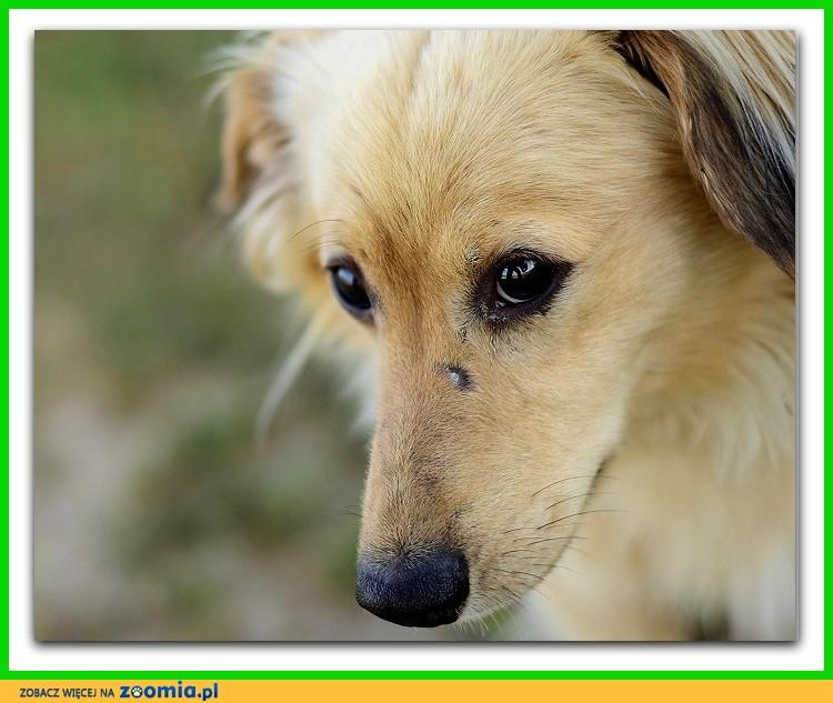 Średni,zaszczepiony,długowłosy,łagodny,kontaktowy psiak BEŻYK_Adopcja