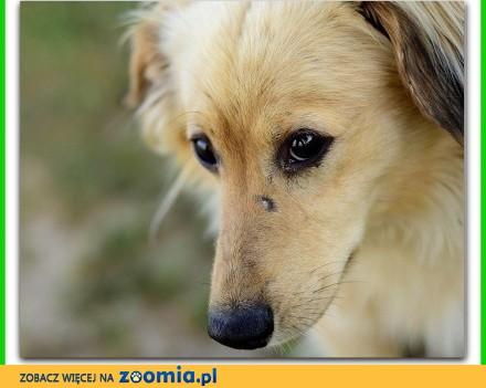 Średni zaszczepiony długowłosy łagodny kontaktowy psiak BEŻYK_Adopcja
