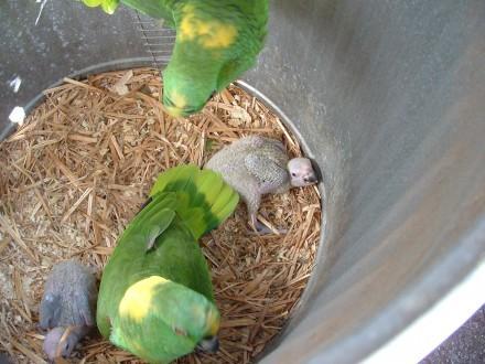 kakadu  papugi i inne jaja
