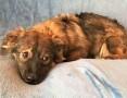 'MISIA – roczna szczeniaczka wyrzucona na śmietnik; szuka domu,  łódzkie Łódź