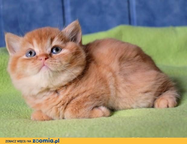 Kot brytyjski - ruda kotka z rodowodowej hodowli              Rodowód