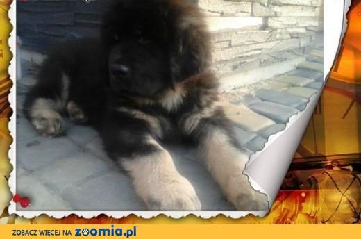 Mastif tybetański szczeniak,  małopolskie Tarnów