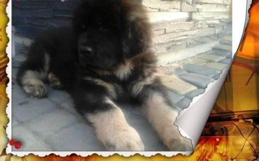 Mastif tybetański szczeniak   małopolskie Tarnów