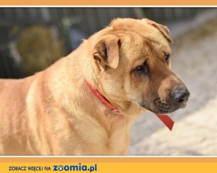 35 kg mix shar peia do domu z ogrodem   czujny odważny pies TAJFUN_Dam