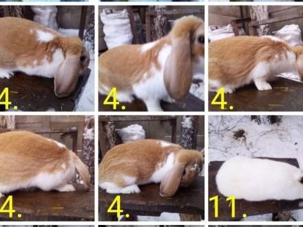 Likwidacja hodowli królików