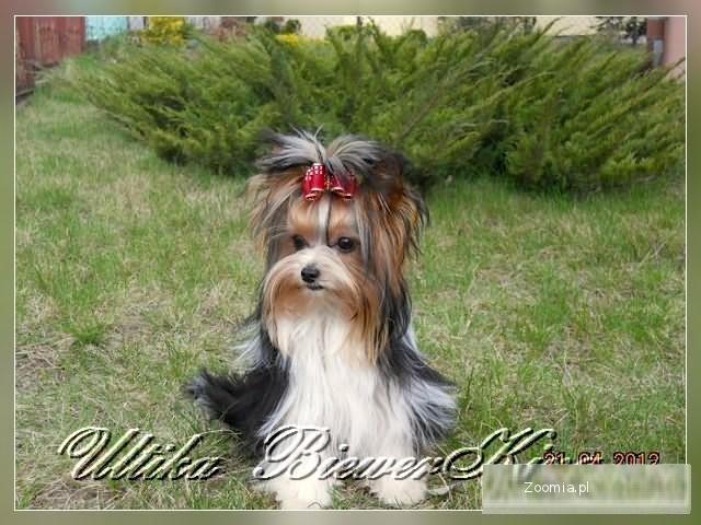 YORK- BIEWER -SUCZKI « Yorkshire Terrier « Psy « Archiwum :: Zoomia ... Yorkie