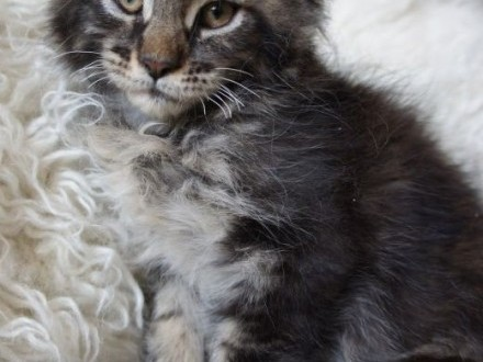 Kocię Kot Rasowy Ogłoszenia Z Hodowli Kociaki Kotki Koty