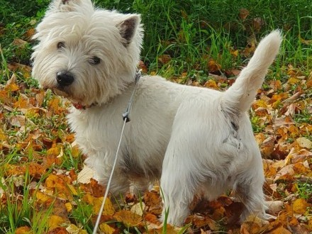 westie - west highland white terrier