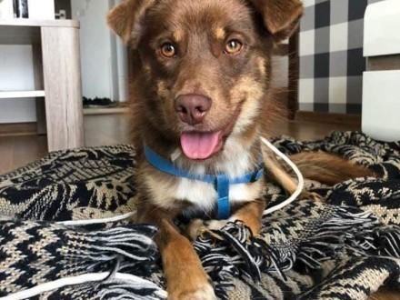 Nakolankowy Karmel  młodziutki  domowy psiak szuka domu!