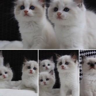Śliczne kocięta Ragdoll z rodowodem FiFe