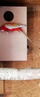 Rozella rozelle rozele rozela białolica białolicej