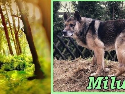 MILUŚ – psi senior co marzy  że życie czymś dobrym go jeszcze obdarzy