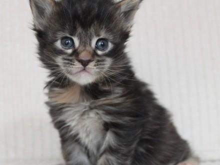 Śliczne kocięta Maine Coon po utytułowanych rodzicach