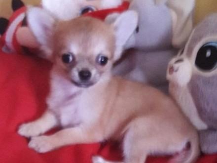 Chihuahua– mini sunia !!!