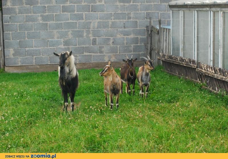 Sprzedam kozy - 4szt_