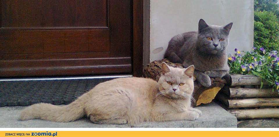 Koty, kocięta brytyjskie