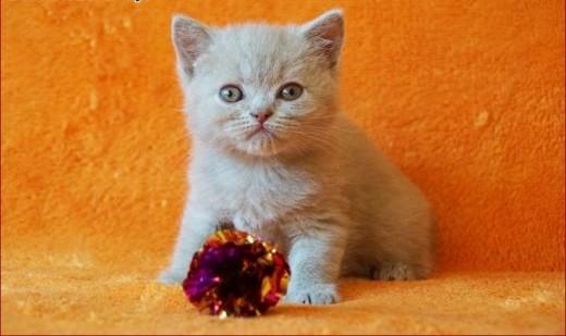 Kotka brytyjska kocięta brytyjskie ;#8211; rodowód WCF   mazowieckie Grójec