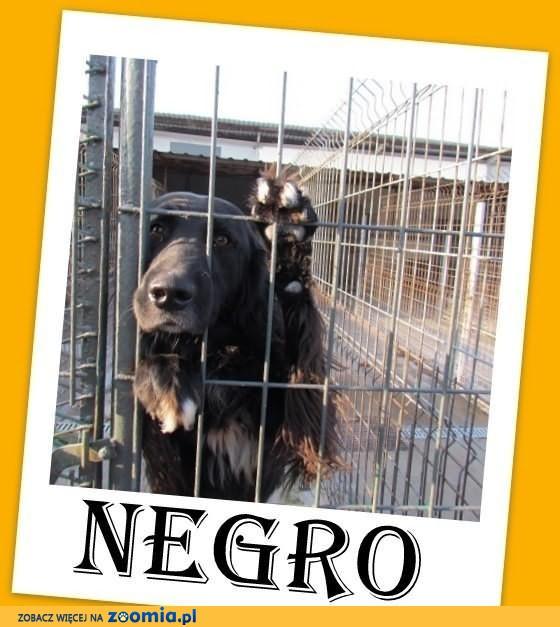 NEGRO-hovawart/flat mix,duży,wesoły,energiczny,czarny pies.ADOPCJA
