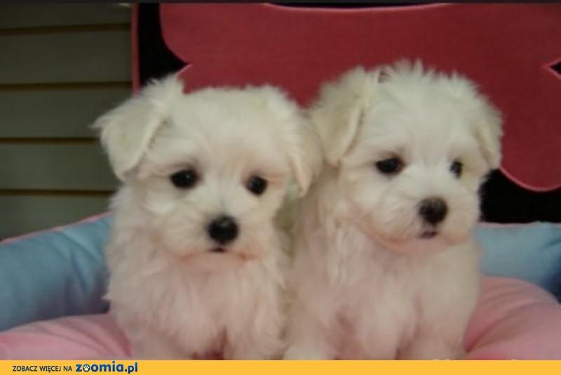 W Mega Maltańczyki małe białe pieski i suczki « Maltese « Dogs « Archives RA23