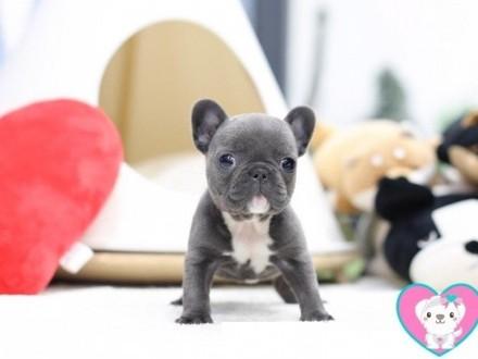 miniaturowy Buldog francuski  piękne szczeniaczki 1kg
