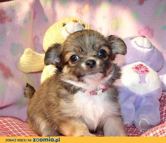 Śliczne szczenięta Chihuahua niemowlęta