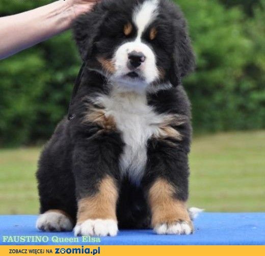 Bernese mountain dog - puppies with FCI pedigree,  Berneński pies pasterski cała Polska