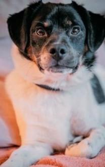 KACPEREK - uroczy  wpatrzony w człowieka psiak szuka domu
