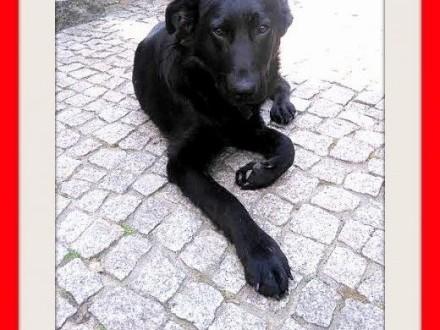 8 mies labrador mix z domu tymczasduży łagodny wesoły pies MAMBO   małopolskie Kraków