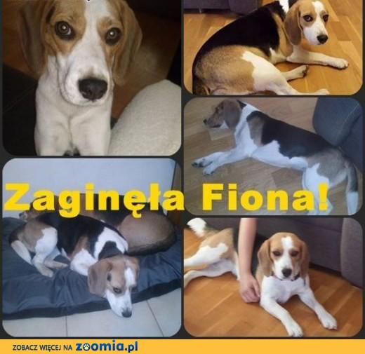 ZAGINĘŁA sunia beagle Fiona! ,  mazowieckie Błonie