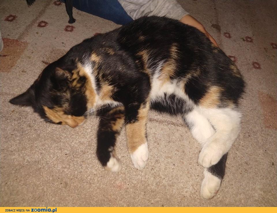 Zuzia kotka trikolor szuka domu