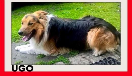 Border collie młody 2letni wesoły pies UGOAdopcja   śląskie Katowice