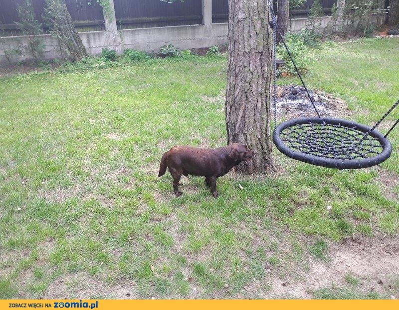 Willy - czekoladowy labrador zaczyna życie od nowa