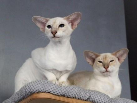 Przepiękna Koteczka Syjamska