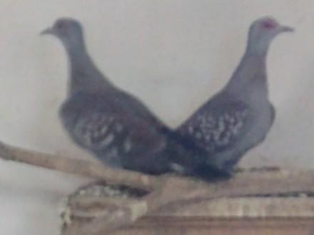 Sprzedam parę gołębie plamistych