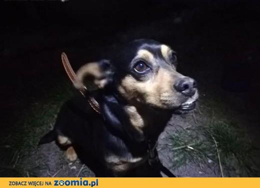 Yoda-3letnia, niepoprawna pieszczocha, idealny pies do domu!,  dolnośląskie Wrocław