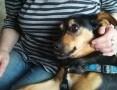 'Yoda-3letnia, niepoprawna pieszczocha, idealny pies do domu!,  dolnośląskie Wrocław