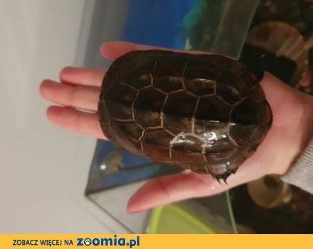 Oddam żółwia chińskiego