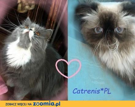 Kocięta pierskie Catrenis*PL FPL (FIFE)