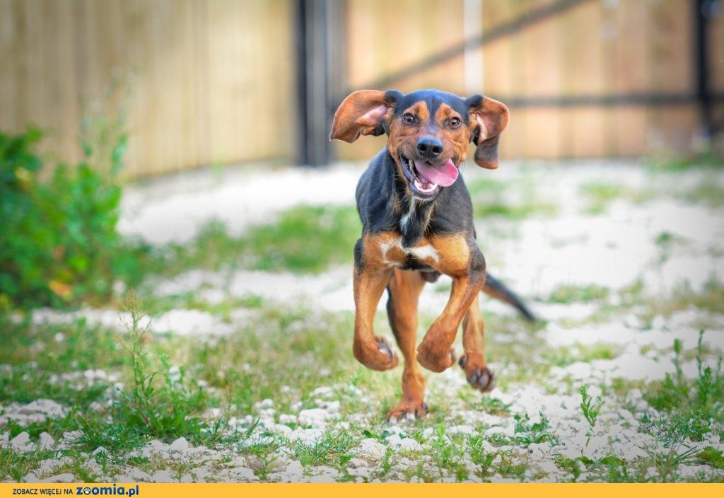 Zefir, szczeniak w typie GOŃCZEGO, niesamowicie wesoły psiak do pokochania!