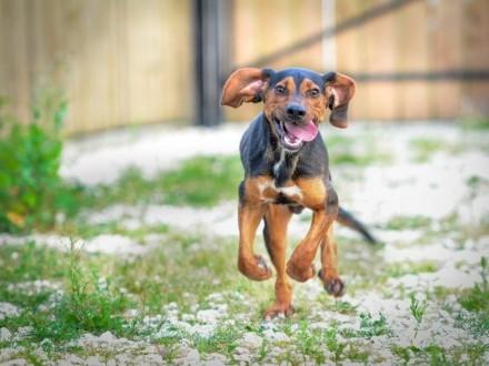 Zefir  szczeniak w typie GOŃCZEGO  niesamowicie wesoły psiak do pokochania!
