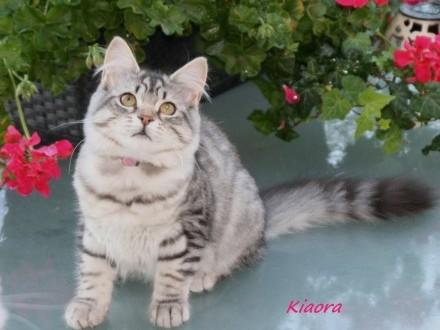 Piękne kociaki syberyjskie