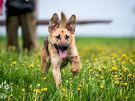 Młody pies dla aktywnych dotrzymasz mu kroku??? ORION   lubelskie Lublin