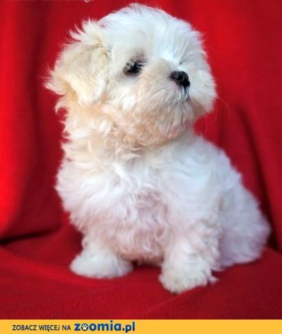 Super Pies Maltańczyk - ogłoszenia z hodowli. Psy Maltańczyki / Zoomia  @KT-82