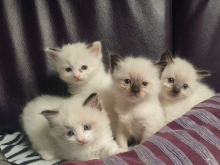 Ragdoll kociaki rodowodowe FPL