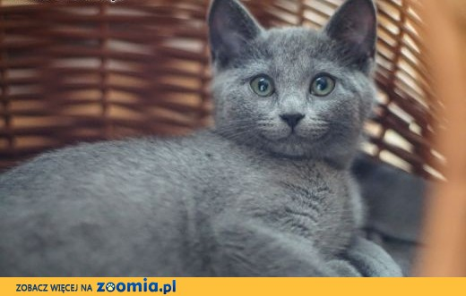 Kocięta rosyjskie niebieskie z rodowodem FPL,  dolnośląskie Głogów